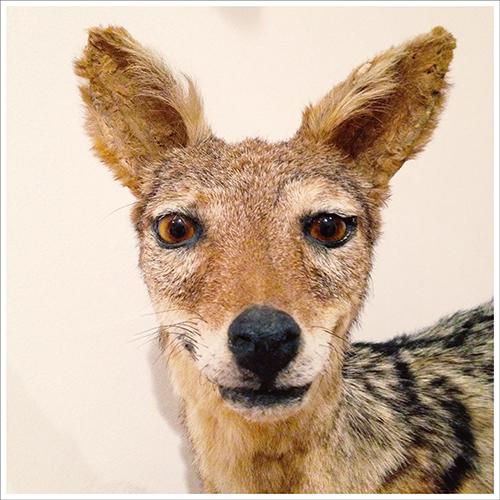 05-Coyote-©-Alessandro-Sciarroni_90x90
